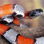 How I keep surviving encounters with the world´s deadliest snakes.